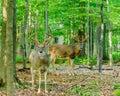 Whitetail Deer Buck In Velvet Royalty Free Stock Photo