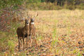 Whitetail deer bucks during fall rut two stand at the edge of a tree line the Royalty Free Stock Photo