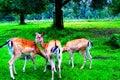 Whitetail Deer Bucks in summer velvet standing Royalty Free Stock Photo
