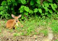 Whitetail Deer Button Buck Royalty Free Stock Photo