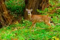 Whitetail deer button buck standing in the woods Royalty Free Stock Photo
