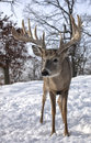 Whitetail deer close up image of a trophy buck Royalty Free Stock Photos
