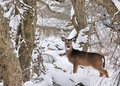 Whitetail Deer Doe Stock Photos