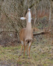 Whitetail Deer Doe Royalty Free Stock Images