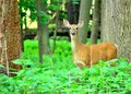 Whitetail Deer Doe Royalty Free Stock Photos