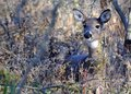 Whitetail Deer Doe Royalty Free Stock Photo