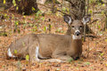Whitetail deer doe bedded a beds down during the fall rut Royalty Free Stock Photo