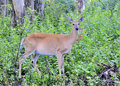 Whitetail Deer Doe And Fawn Stock Photo
