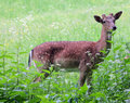 Whitetail deer doe and fawn in a beanfield in late evening Royalty Free Stock Photo