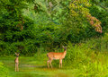 Whitetail Deer Doe and Fawn Royalty Free Stock Photo