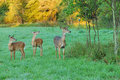 Whitetail Deer Doe With Fawns Royalty Free Stock Photo
