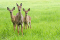 Whitetail deer doe and fawns a mother her two Stock Photography