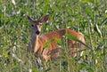Whitetail Deer Doe Feeding in Corn Field Royalty Free Stock Photo