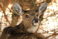 Whitetail Deer Doe Giving the Eye Royalty Free Stock Photo
