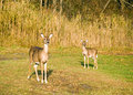 Whitetail Deer Doe With Yearling Royalty Free Stock Photography