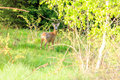 Whitetail deer fawn Royalty Free Stock Photo