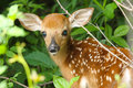 Whitetail deer fawn a newborn conceals itself in the thick foliage Royalty Free Stock Image