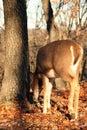 Whitetail deer feeding nature doe Royalty Free Stock Photo