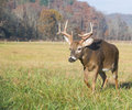 Whitetail deer in a field Royalty Free Stock Photography
