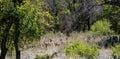 Whitetail Deer Herd - Odocoileus virginianus Royalty Free Stock Photo