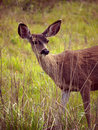 Whitetail deer hiding behind tall grass Royalty Free Stock Images