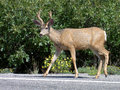 Whitetail deer by the side of the road at the black canyon of the gunnison white tailed Stock Images