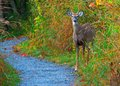 Whitetail deer spike buck standing on the edge of a nature trail Stock Image