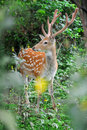 Whitetail deer standing in summer wood close up young Royalty Free Stock Photo
