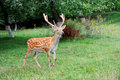 Whitetail deer standing in summer wood close up young Royalty Free Stock Images