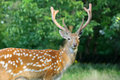 Whitetail deer standing in summer wood close up young Stock Photo