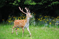 Whitetail deer standing in summer wood close up young Stock Image