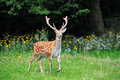 Whitetail deer standing in summer wood close up young Royalty Free Stock Photos