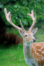 Whitetail deer standing in summer wood close up young Stock Photos