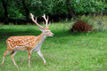 Whitetail deer standing in summer wood close up young Stock Photography