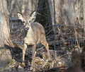 Whitetail Deer in Woods at the End of Winter Stock Photos