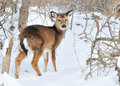 Whitetail Deer Yearling Royalty Free Stock Photography