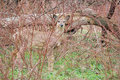 Whitetail Deer Yearling Royalty Free Stock Photos