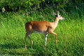 Whitetail doe Stock Photo