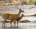 Whitetail Doe With Fawn Royalty Free Stock Photo
