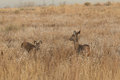 Whitetail Doe and Fawn Royalty Free Stock Photo
