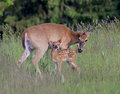 A whitetail doe and fawn mother share tender moment Stock Photos