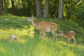 Whitetail Doe With Fawns Royalty Free Stock Photos