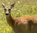 Whitetail doe and pesky flies standing stoically coexisting with summer on a sunny day Stock Photo