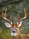 Whitetail-Dollar-Portrait Stockbild