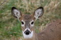 Whitetail fawn baby deer deer in the woods green background Stock Photography