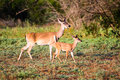 Whitetail fawn and doe Royalty Free Stock Photo