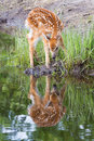 Whitetail fawn drinking water Royalty Free Stock Photo