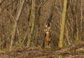 Whitetail-Rotwild Stockbild