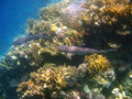 Whitetip reef sharks and coral reef Stock Photography