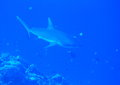 Whitetip shark Stock Images